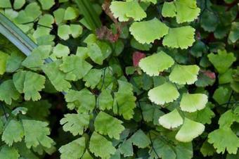 Herba capil·lera