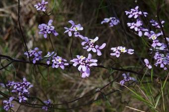 Iberis linifolia L. subsp. dunalii (Bubani) Valdés. Ruta al cim de Cadiretes. Tossa de Mar.