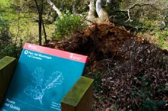 Aquest roure fou tombat pel temporal de pluja i vent el desembre de 2014. Ruta per la vall d'Olzinelles.