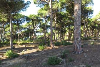 """Pineda de pi pinyoner a la ruta """"Castell de Burriac des de Torre Ametller"""". Cabrera de Mar."""